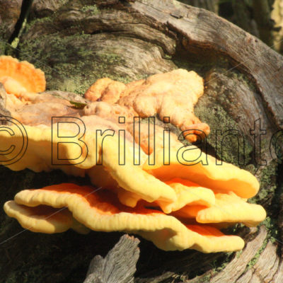 Chicken of the woods - Brillianto Images