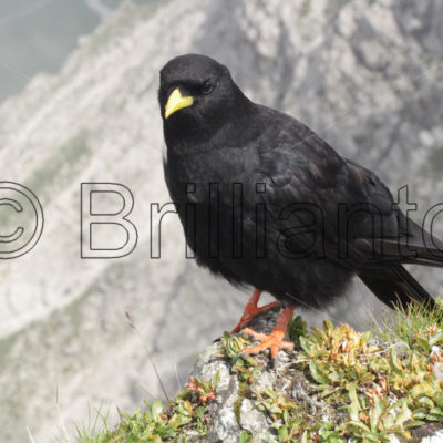 alpine chough - Brillianto Images