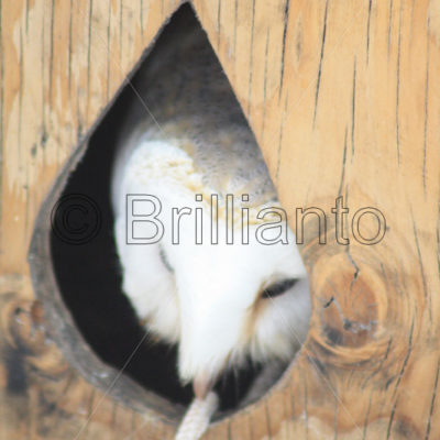 barn owl - Brillianto Images