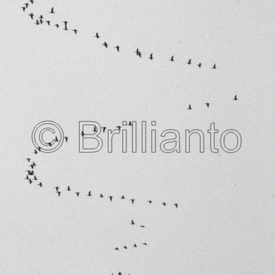 bird migration - Brillianto Images