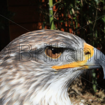 bird of prey - Brillianto Images