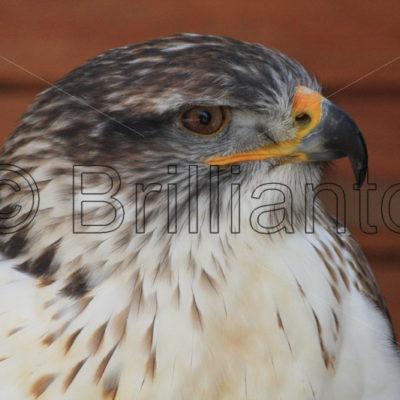 bird pf prey - Brillianto Images