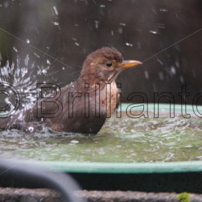 blackbird_Amsel_Turdus merula; - Brillianto Images