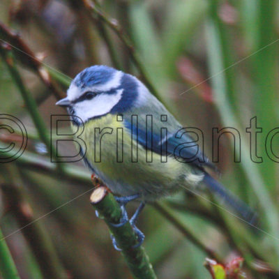 blue tit - Brillianto Images