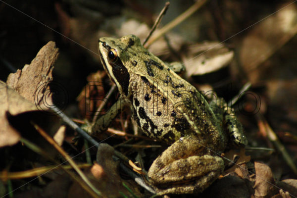 common frog - Brillianto Images