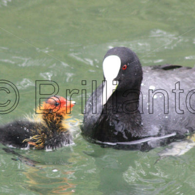 coot & chick - Brillianto Images