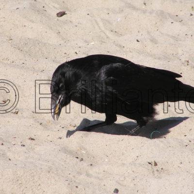 crow - Brillianto Images