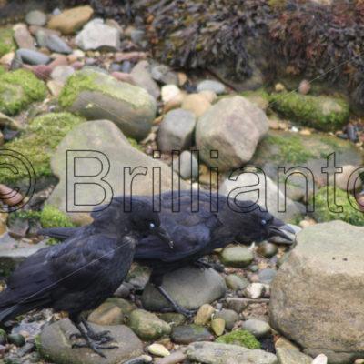 crows - Brillianto Images