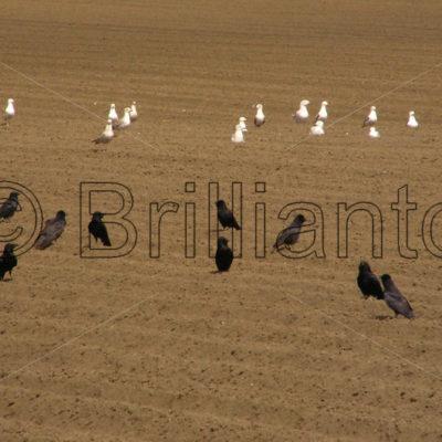 crows & gulls - Brillianto Images