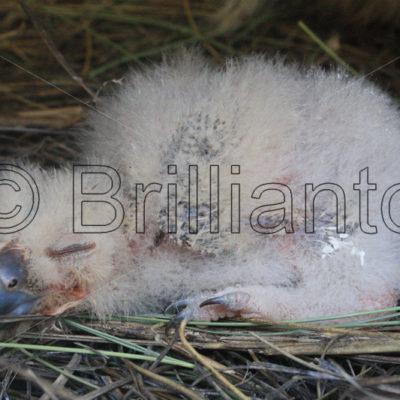 eagle owl - Brillianto Images