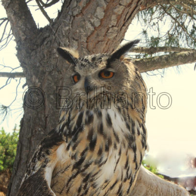 eagle owl - Brillianto Images
