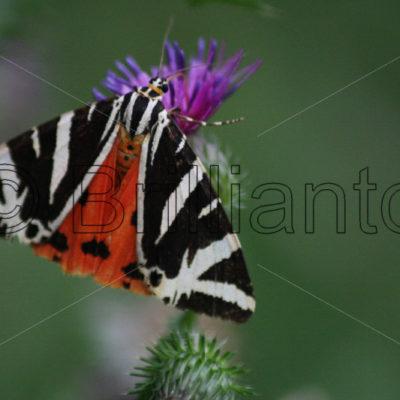 moths & caterpillars