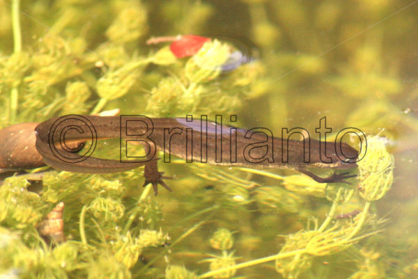 great crested newt - Brillianto Images