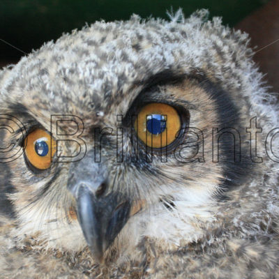 great horned owl - Brillianto Images