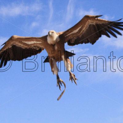 grifffon vulture - Brillianto Images
