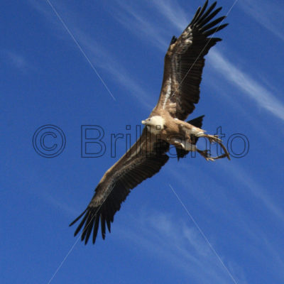 griffon vulture - Brillianto Images