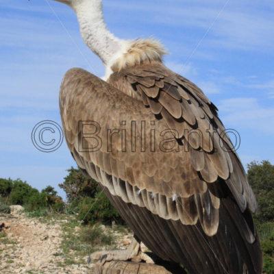 griffon vulture - Brillianto Images