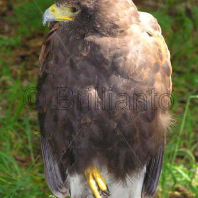 harris hawk - Brillianto Images