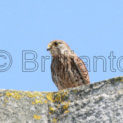 kestrel - Brillianto Images