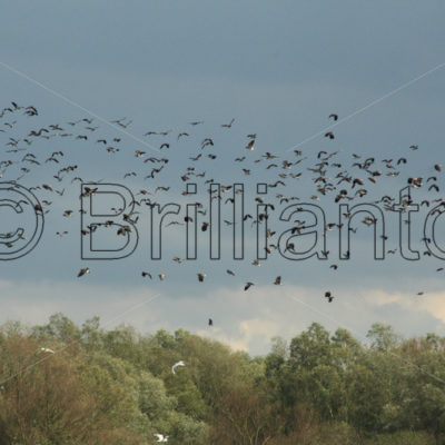 lapwings - Brillianto Images