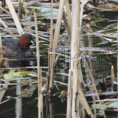 little grebe - Brillianto Images