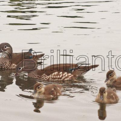 mandarin duck - Brillianto Images