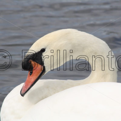 mute swan - Brillianto Images