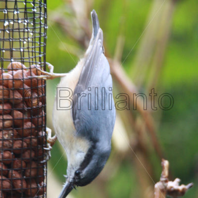 nuthatch - Brillianto Images