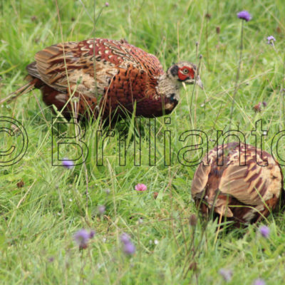 pheasants - Brillianto Images