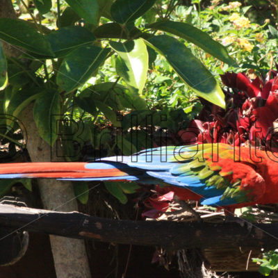 red and green macaw - Brillianto Images
