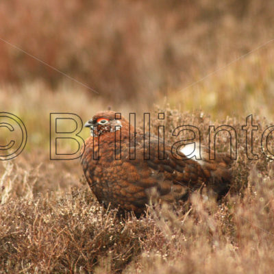 red grouse - Brillianto Images