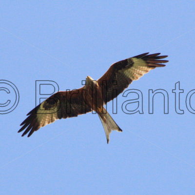 red kite - Brillianto Images