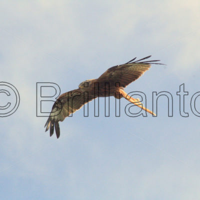 red kite - Brillianto Images