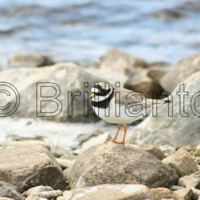 ringed plover - Brillianto Images