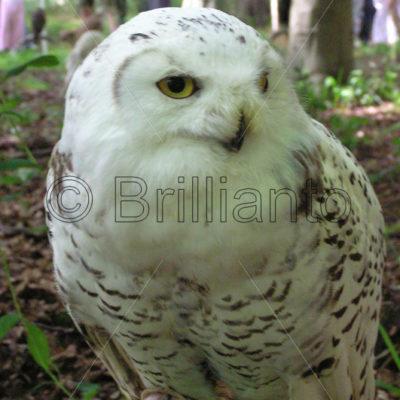 snowy owl - Brillianto Images