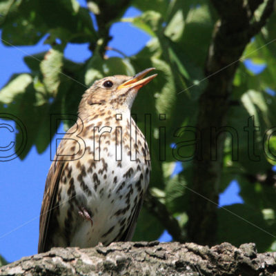 song thrush - Brillianto Images