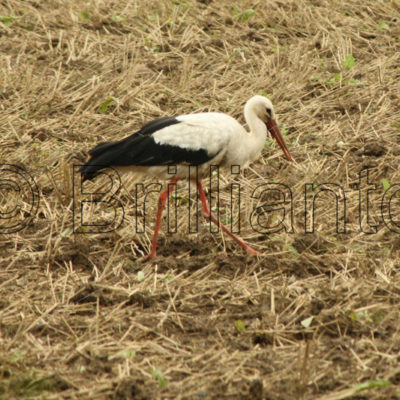 stork - Brillianto Images