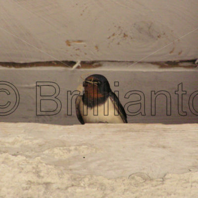 swallow - Brillianto Images