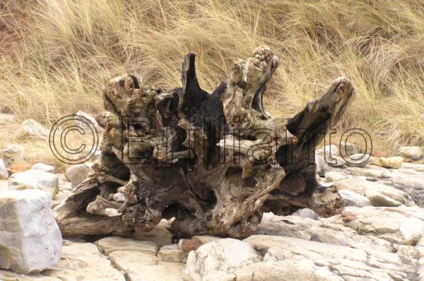 tree root - Brillianto Images