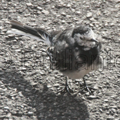wagtail - Brillianto Images